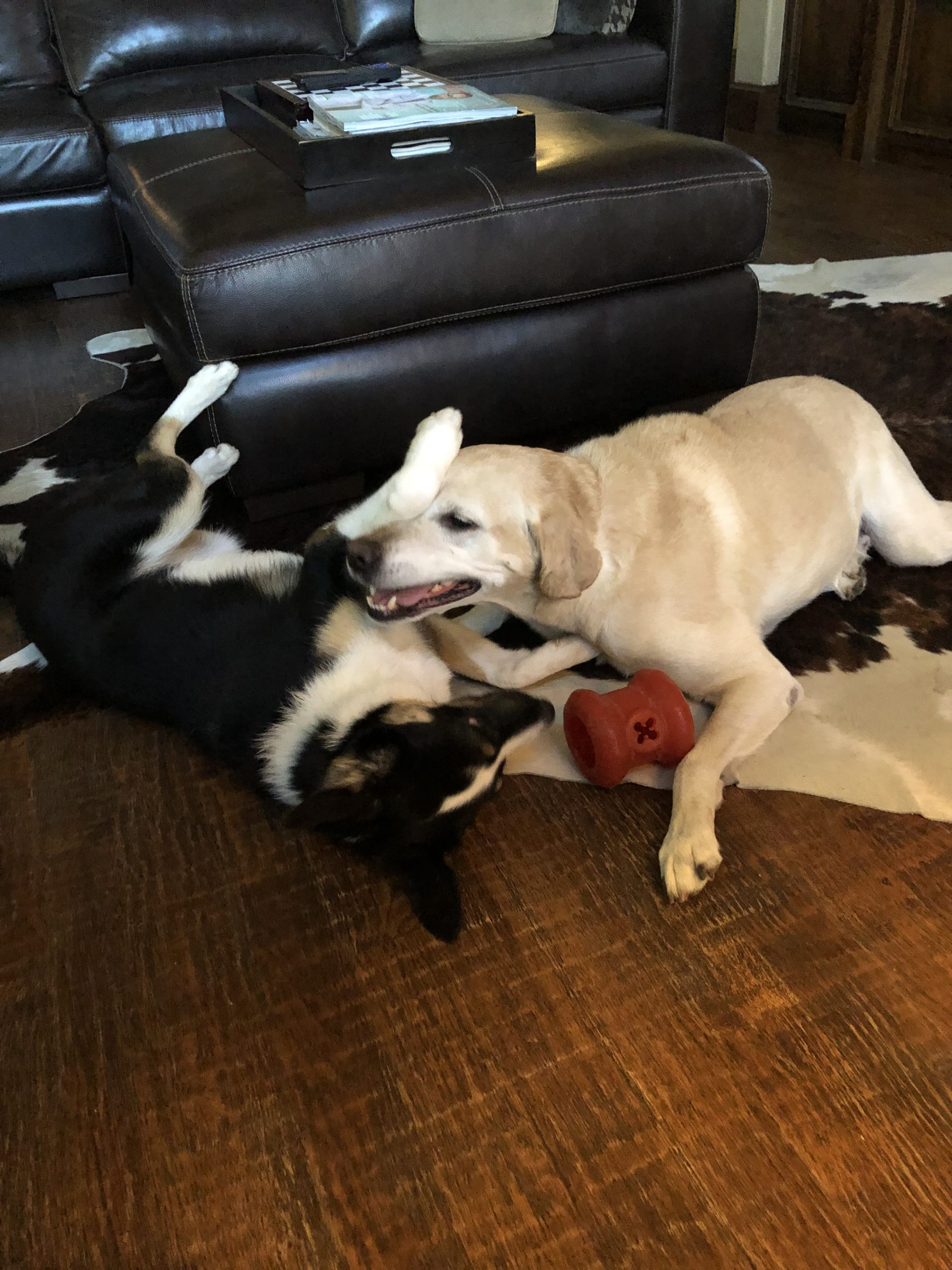 Bones and Stormy playing dogs