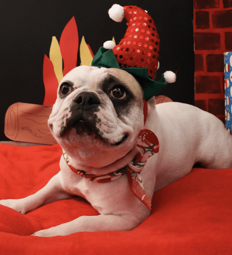 french bulldog with santa hat